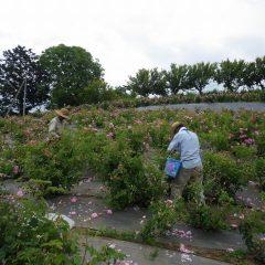 蒸し暑いサウナの様な気温の中で黙々と花を摘み取っています