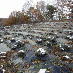 ラベンダー畑も雪が少しだけ残っていました