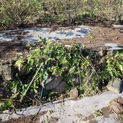 防草シートを被せていなかった石垣には雑草がビッシリと生えています