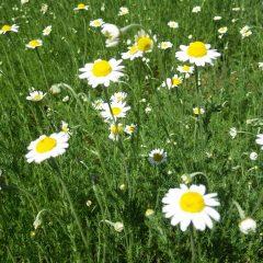 けれど存在感のある花を咲かせます