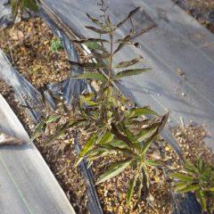 農場のレモンバーベナは寒さで葉が焼けています