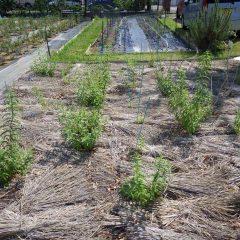 レモンバーベナも葉を沢山広げています