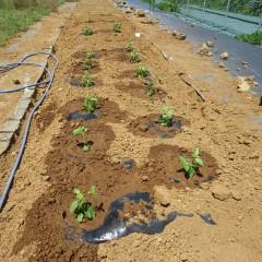 インド原産の植物で発芽は25℃以上が必要でようやく苗が届きました