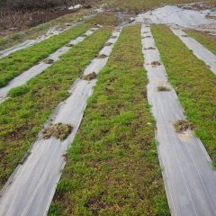 除草中のカモマイル・ジャーマン畑