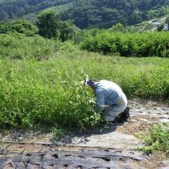 雑草に埋もれるようにして作業をしています