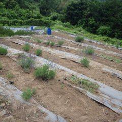 除草作業を終え収穫を待つばかりのラベンダー畑