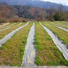 除草の終わったカモマイル・ジャーマン畑