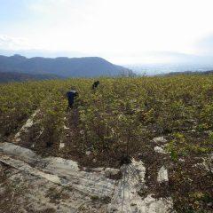 ローズ畑では剪定前の除草作業