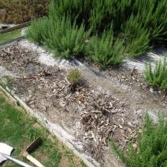 枯れたローズマリーの後にローズマリーの挿し木苗を定植しました