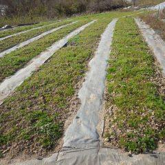 まだ除草していないカモマイル・ジャーマン畑