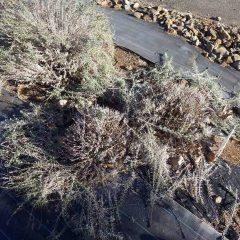 積雪があると伸びた枝が折れてしまうのでその前に刈り込みました