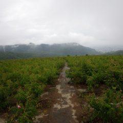 台風も接近、雨雲に覆われたローズ畑