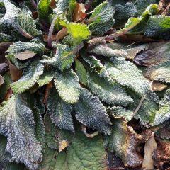 ボリジの葉が霜で覆われました