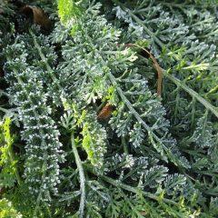 ヤローの葉にも霜がビッシリ!