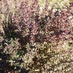 タイム・ブルガリスの葉は赤く紅葉しています