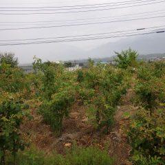 朝からの雨に濡れる事務局前のローズ畑