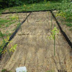 苦労して土中の除草をしたユーカリ・レモン畑には雑草が生えていません