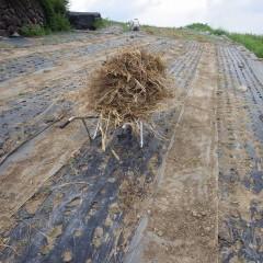 除草した草を畑の外に運び出しました