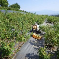 猛暑の中、ローズ畑の除草作業は今日も行われています