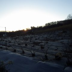 寒風吹き荒れる中でローズの剪定作業は日没まで続けられています