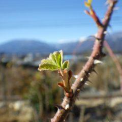 芽が動いて葉が開いてしまった枝
