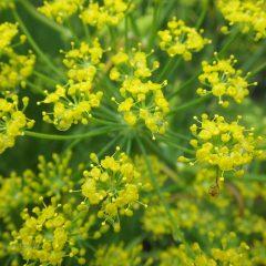 雨に濡れるフェンネルの花