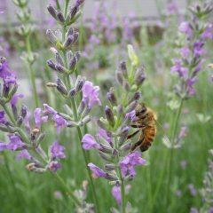 雨の中でも蜜集めに大忙しのミツバチ