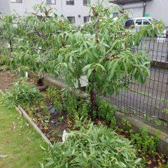 伸び過ぎた枝を切り落としました