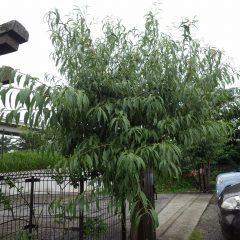 重なった枝や混み合った枝を切り落とします