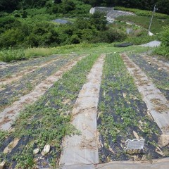 2週間前に除草したカモマイル・ジャーマン畑にはまた雑草がビッシリと生えています
