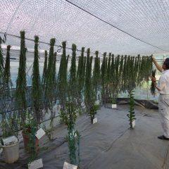 花穂が真っ直ぐになるよう逆さまに吊して乾燥させます