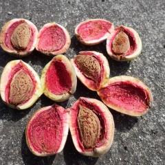熟した実の内側は綺麗なピンク色で仄かに甘い桃の香りがします