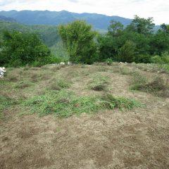 枯れたカモマイル・ジャーマンの株と雑草を片付けます