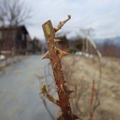 仮剪定の後、伸びた芽は寒さで凍って枯れています