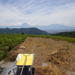 カモマイル・ジャーマン畑の除草した草の片付け作業の続きを行いました