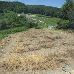 草片付け最後のカモマイル・ジャーマン畑