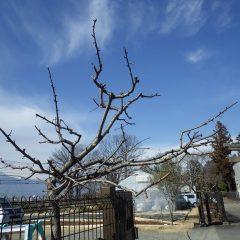 スッキリした樹形になりました