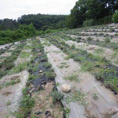 収獲が終わって1ヶ月でラベンダー畑は雑草だらけになっています