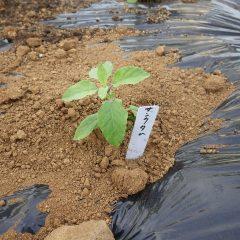 定植したばかりの苗