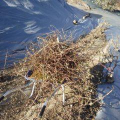 剪定した枝の後片付け