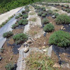 台風の雨で除草した草はまだ青々しています