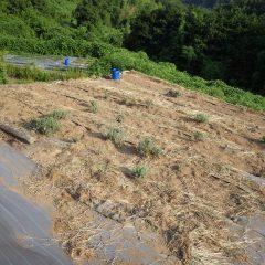 ラベンダー畑の除草作業