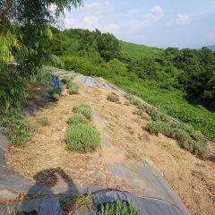 雑草に覆われていたラベンダー畑が見違えるほど綺麗になりました