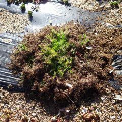 雑草除けにマルチを張って植えたカモマイル・ローマン