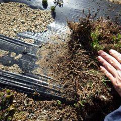 伸びた茎がマルチの上で根を張れず凍って枯れてしまいました