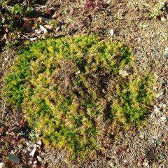 マルチを張らなかった株は寒さで葉が変色しているものの、伸びた茎の先端までしっかり根を張って生きています
