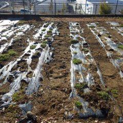春を迎える準備が整ったカモマイル・ローマン畑