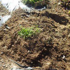 土をほぐして被せて完了です