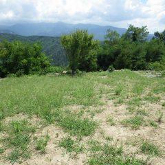 折角除草したカモマイル・ジャーマン畑が再び雑草で覆われ始めてしまいました