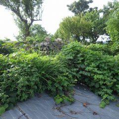 農場の端にあるキウイフルーツがクズの葉で覆われてしまいました